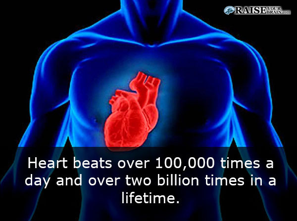 Image result for facts of the human heart