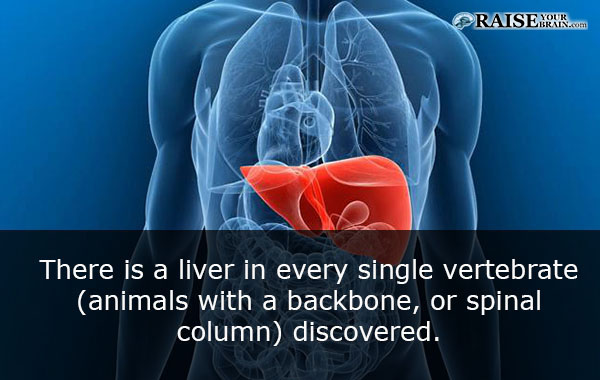 16 Human Body Facts Liver Functions Raiseyourbrain