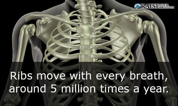 16 Human Body Facts Human Lungs Raiseyourbrain