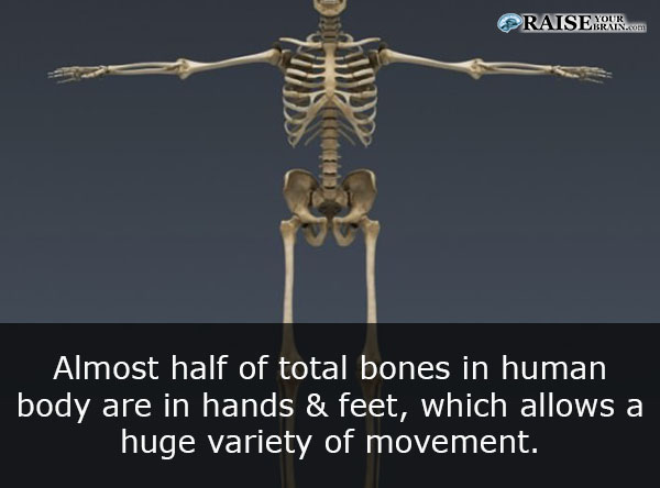 21 Human Body Facts Human Skeleton Raiseyourbrain