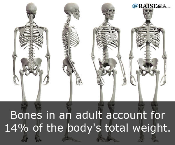 21 human body facts: human skeleton - raiseyourbrain, Skeleton