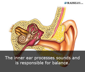 The human ear facts: human body fact 26