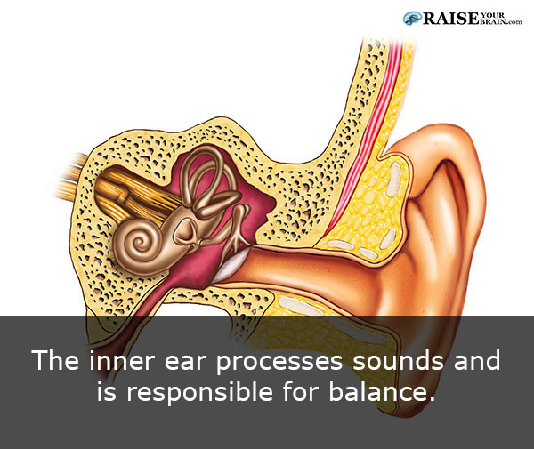 The human ear facts: human body facts - RaiseYourBrain.com