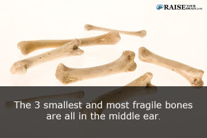 The human ear facts: human body fact 28