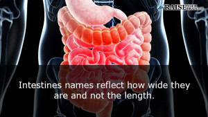 intestine fact - Interesting Human body facts 2