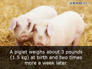Animal facts about pigs 22