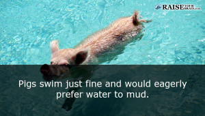 Animal facts about pigs 24
