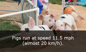 Animal facts about pigs 25