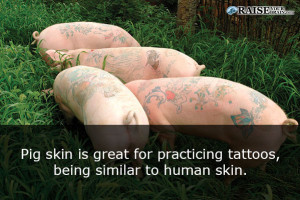 25 weird animal facts about pigs for Pig skin for tattooing