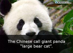 25 interesting facts about pandas raise your brain interesting facts about pandas 2 voltagebd Choice Image