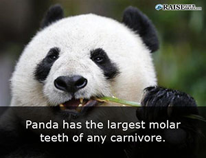 interesting facts about pandas