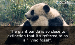 Interesting Facts About Pandas Raise Your Brain - 8 cool facts about madagascar