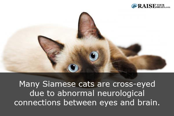 Siamese Cats And Kittens Pictures