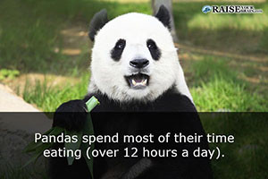 fun-facts-about-pandas-26-300x200.jpg?x84682