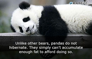 30 fun facts about pandas and their life - Raise Your Brain