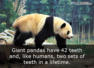30 fun facts about pandas and their life raise your brain fun facts about pandas 47 voltagebd Image collections