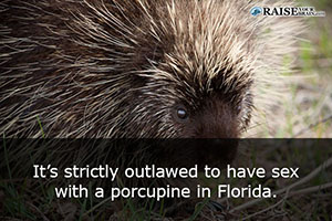 Sex with a porcupine