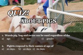 Quiz 21 Pigs